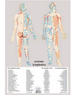 Planches - Système lymphatique A